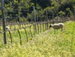 Sheep grazing in the vineyard