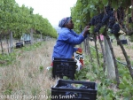 Elgin Ridge harvesting team, picking Pinot Noir