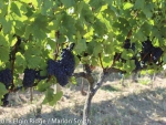 Pinot noir ready to pick