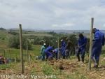 Planting new Cabernet Franc vines