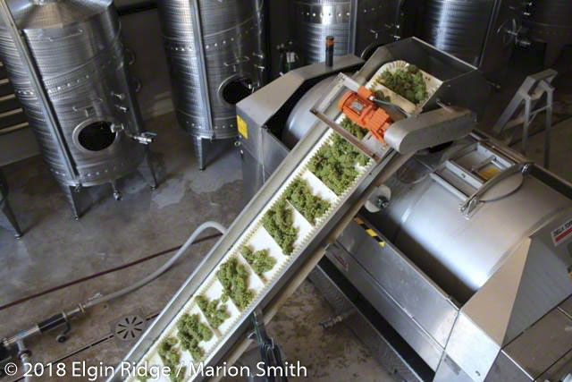 Chardonnay grapes after sorting
