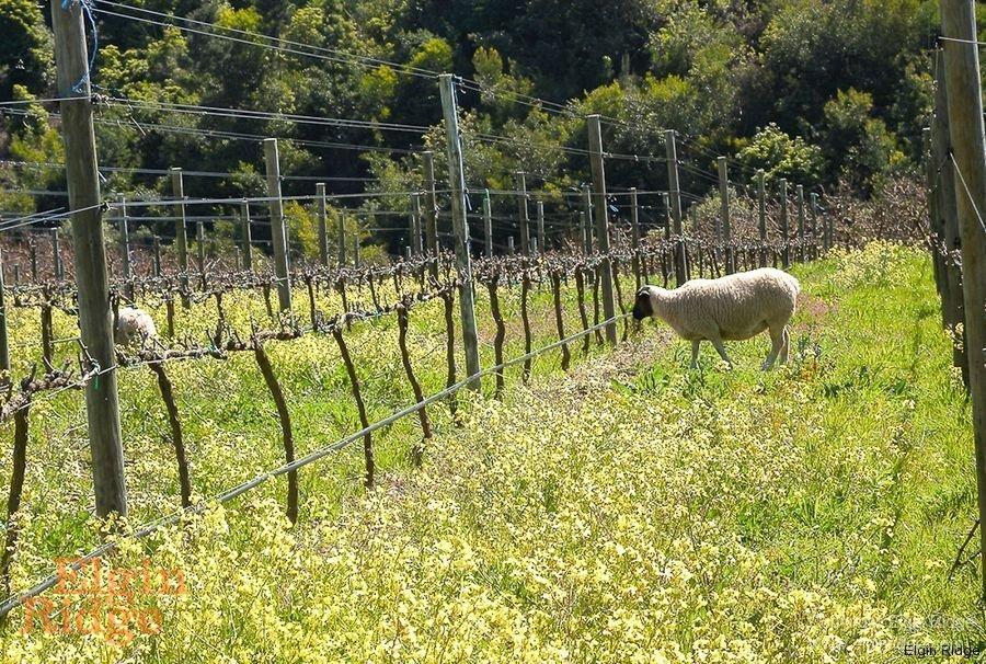 Sheep grazing in the vineyard