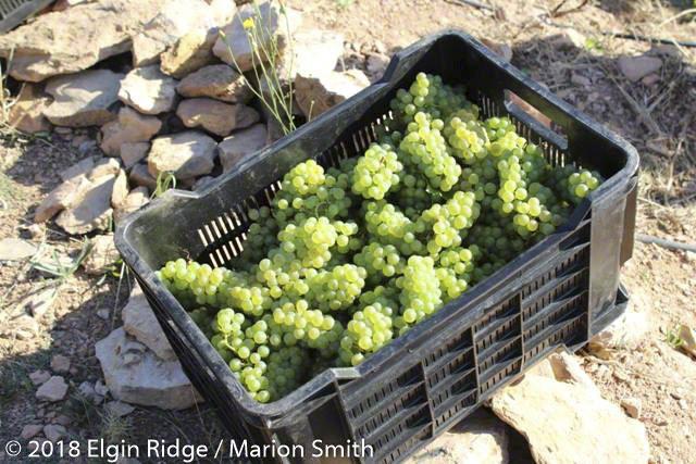 perfect organic sauvignon blanc grapes
