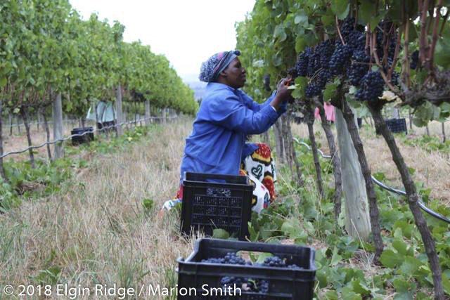 Elgin Ridge harvesting team, picking Pinot Noir