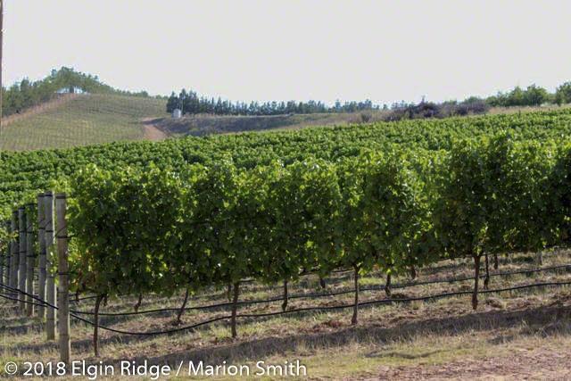 Stuning view at Elgin Ridge, over sauvignon blanc vineyard
