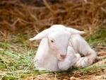 New lamb
