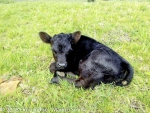 New born Dexter calf at biodynamic Elgin Ridge