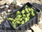 perfect organic sauvignon blanc grapes