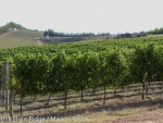 Stuning view at Elgin Ridge, over sauvignon blanc vineyard