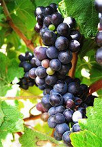 Pinot noir grapes on Elgin Ridge