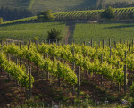Elgin Ridge Vines