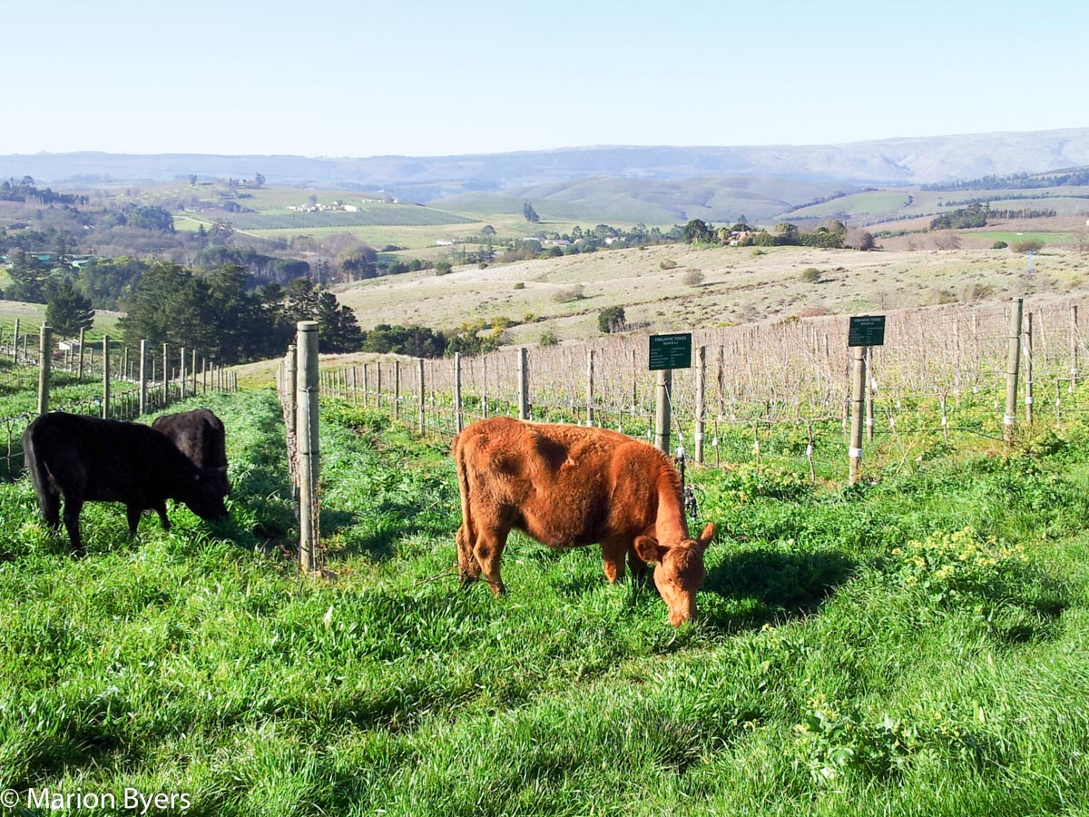 Cows in vineyard