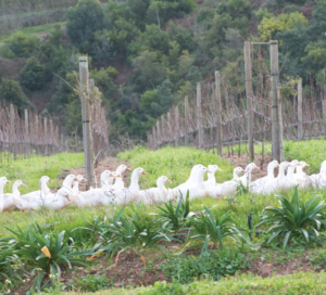 Ducks at home in our organic and bio-dynamic vineyards